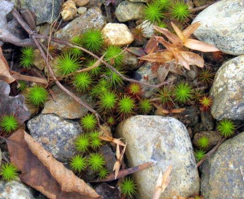 5-juniper-haircap-moss