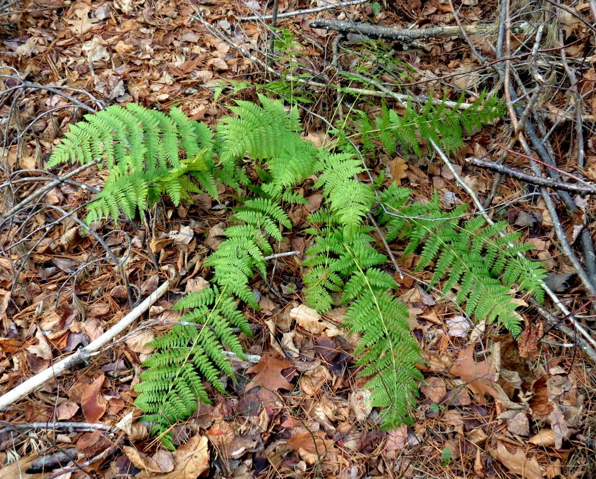 7-marginal-wood-fern