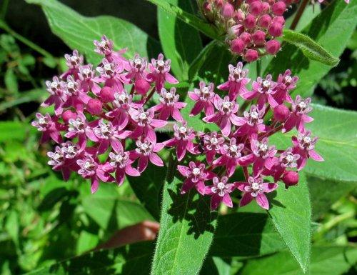 7-swamp-milkweed