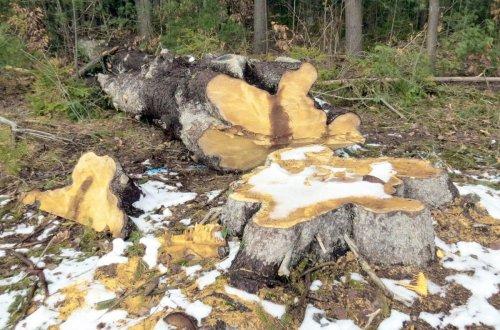 1-felled-spruce