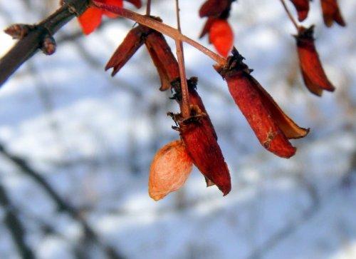 11-burning-bush-fruit