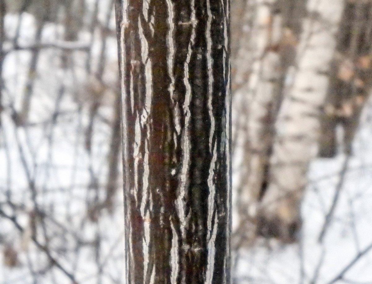 11-striped-maple-bark