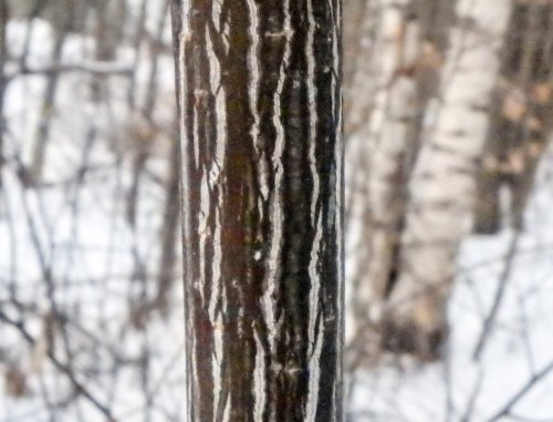 11-striped-maple-bark