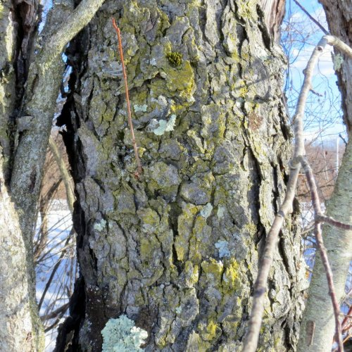 12-mealy-firedot-lichen-caloplaca-citrina-on-cherry
