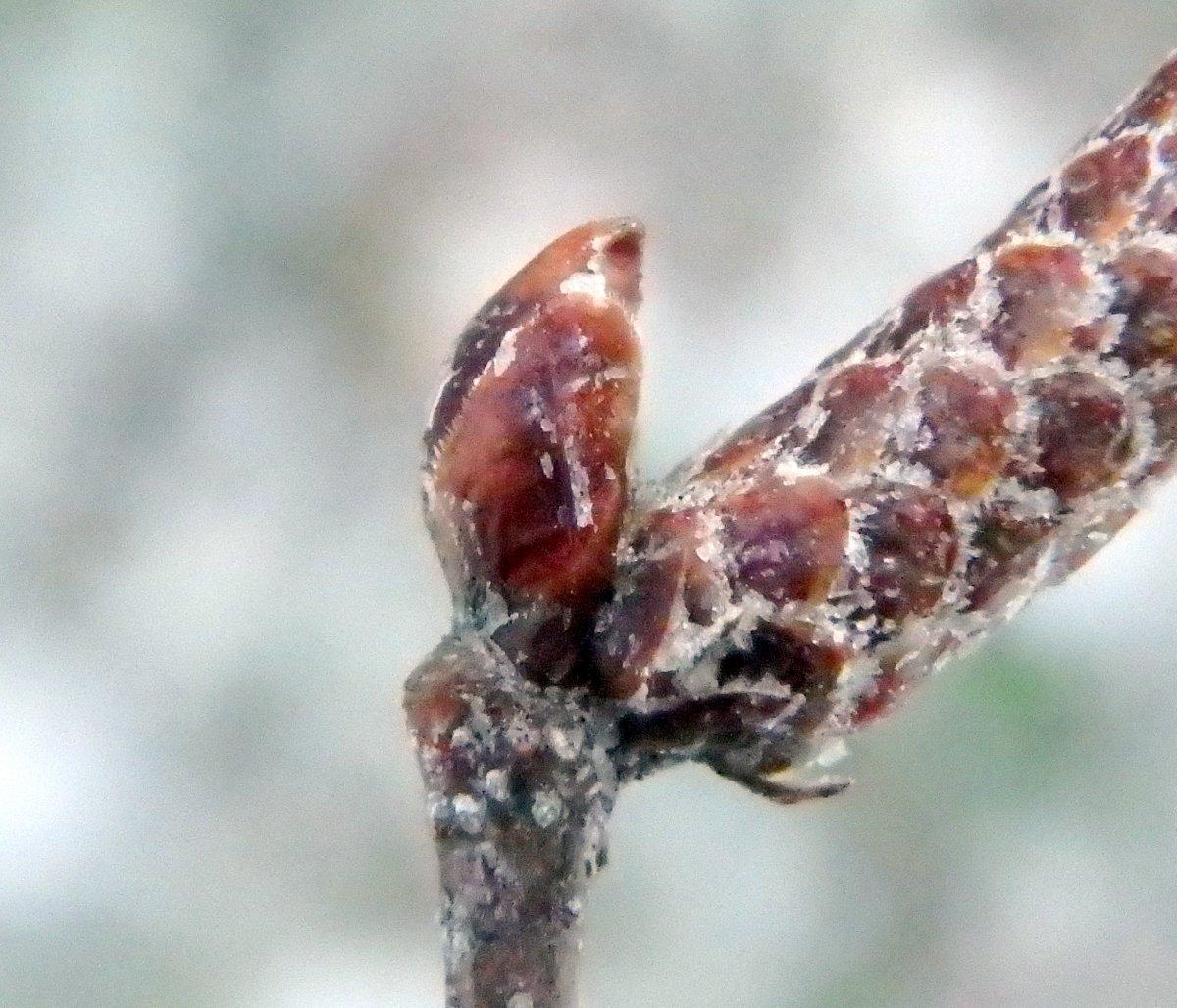 13-gray-birch