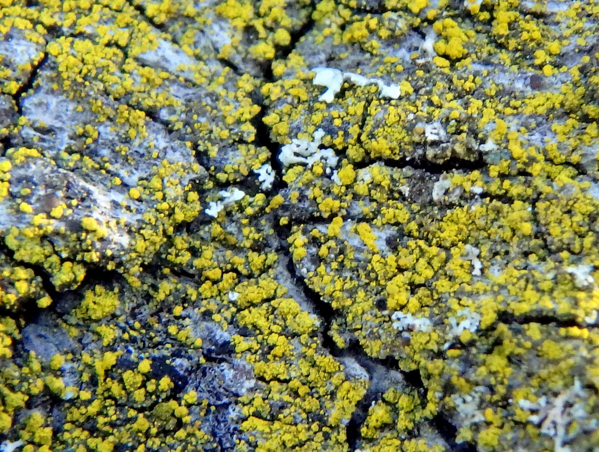 13-mealy-firedot-lichen-caloplaca-citrina-on-cherry