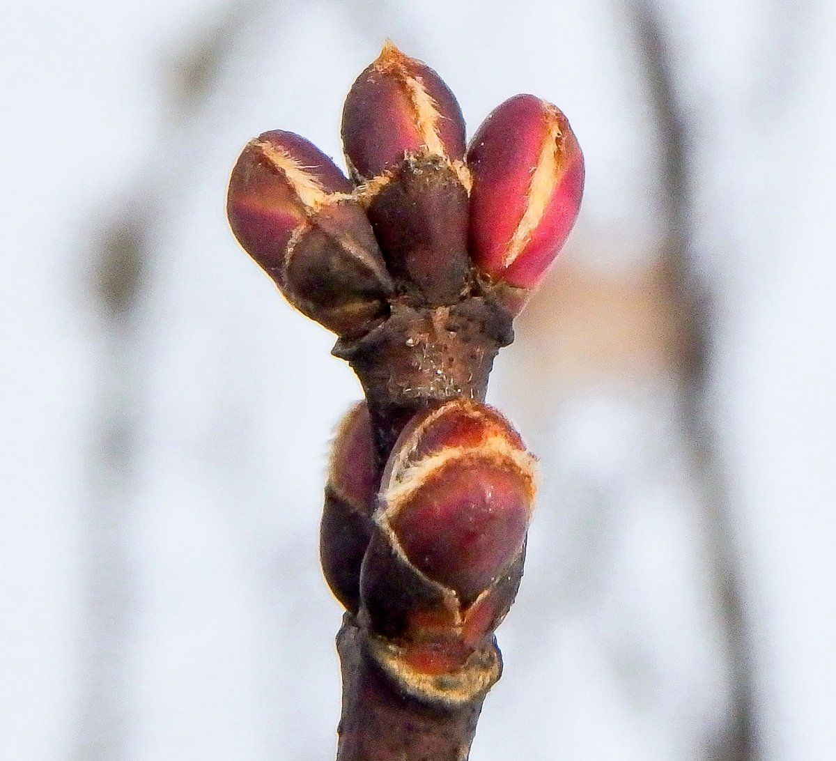 14-silver-maple-buds
