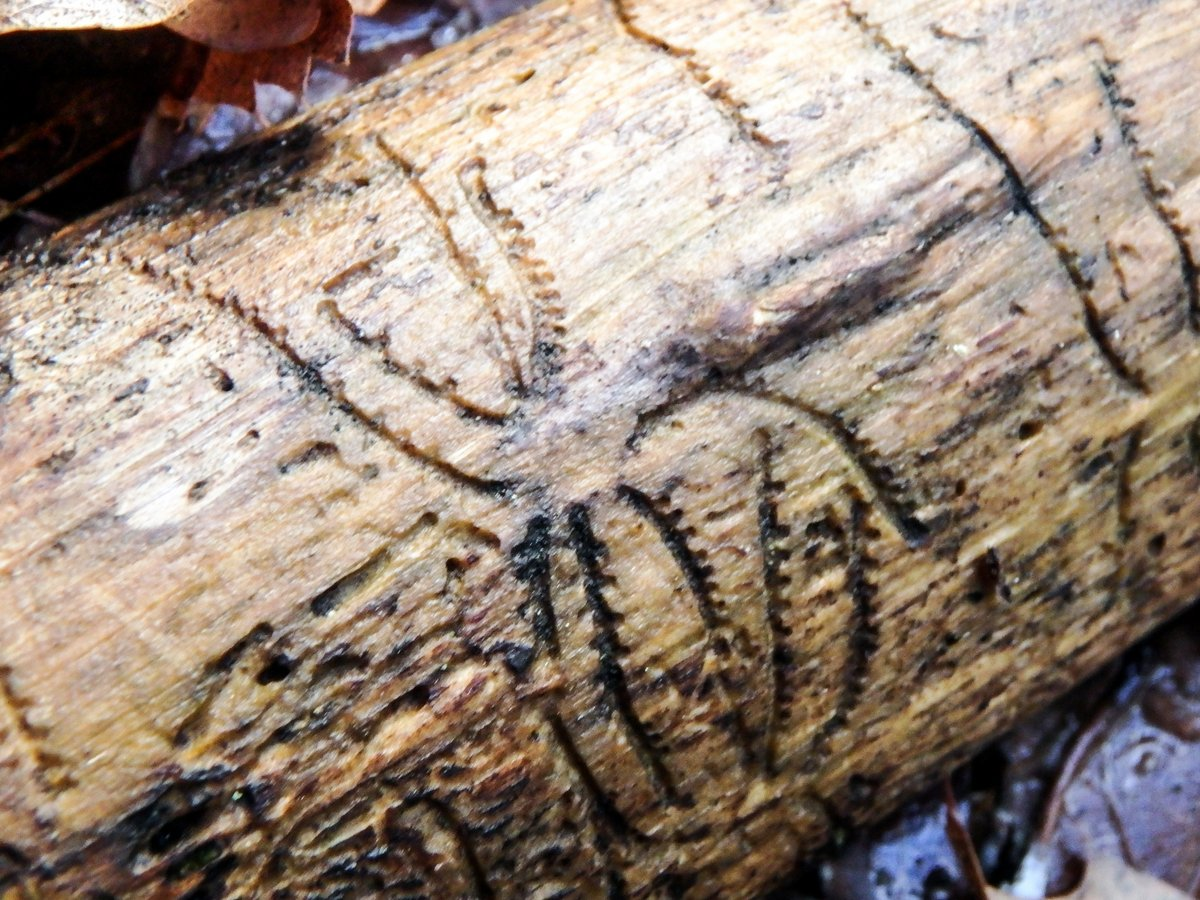 17-bark-beetle-damage