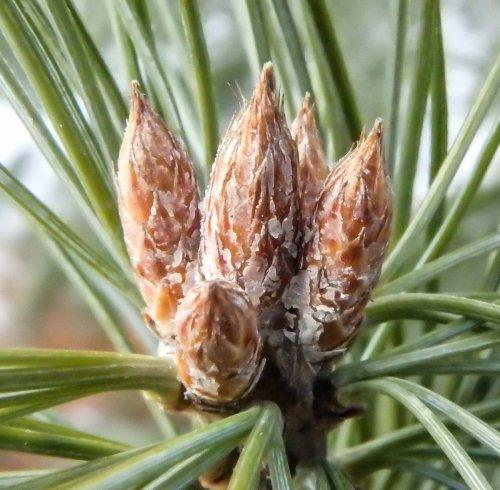 17-white-pine