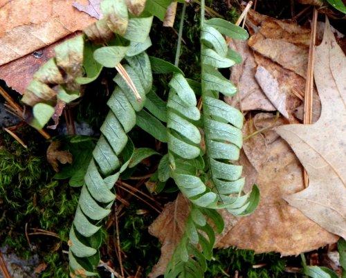 18-polypody-fern