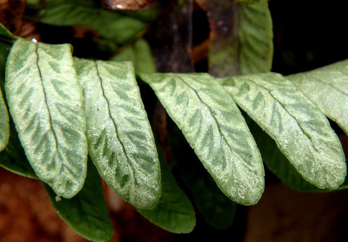 19-polypody-fern