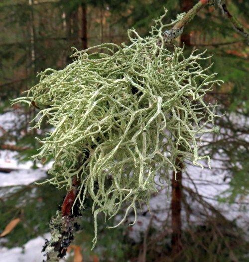 20-beard-lichen
