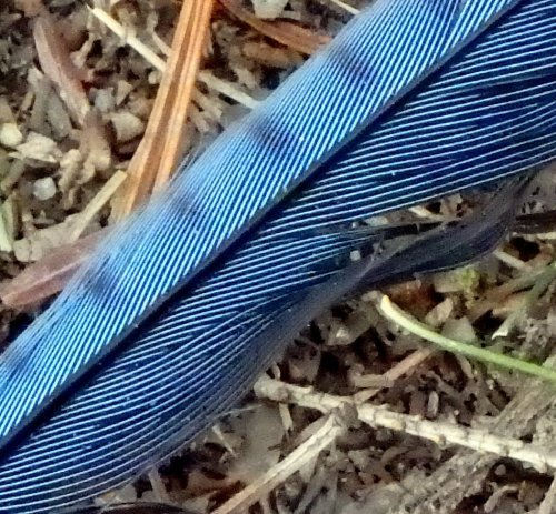 20-blue-jay-feather