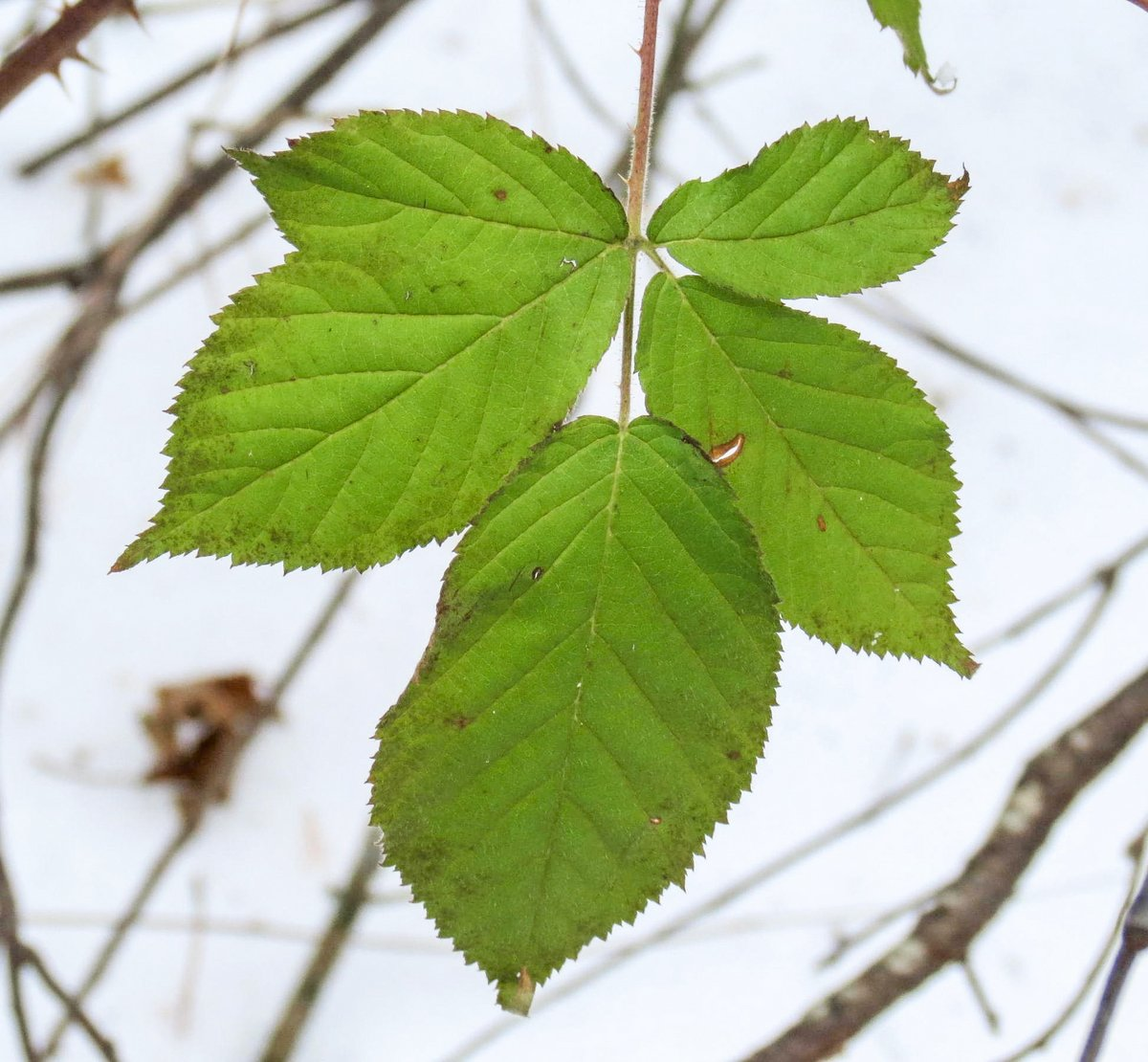 21-raspberry-leaves