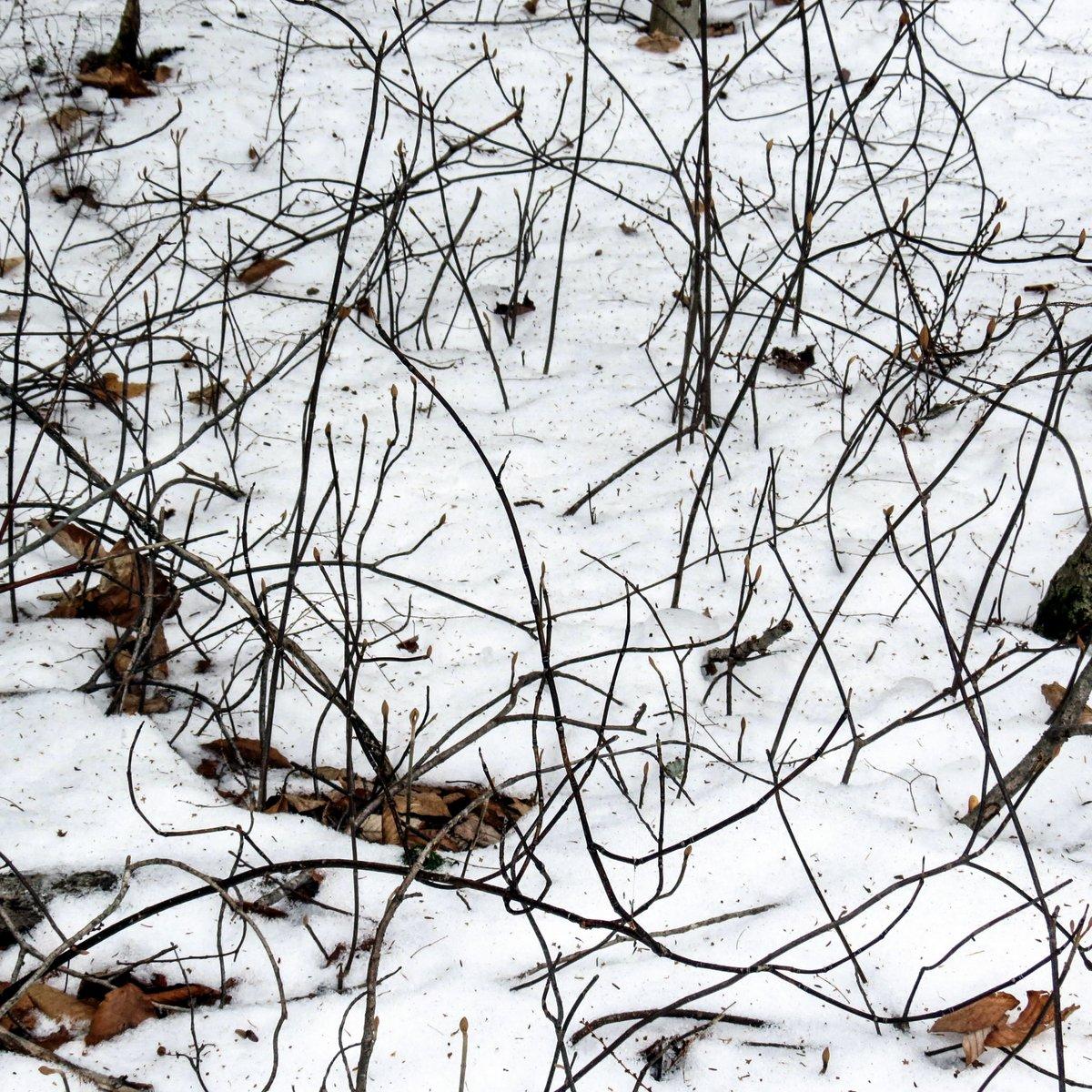 3-hobblebushes