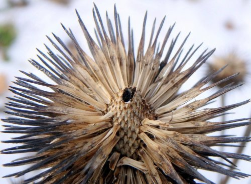 6-coneflower-seed-head