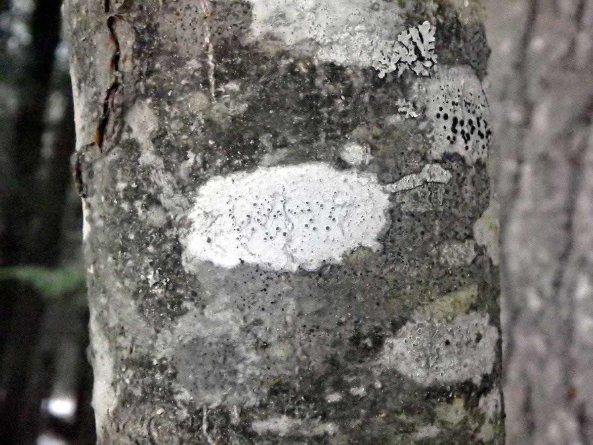 7-black-eye-lichen-tephromela-atra