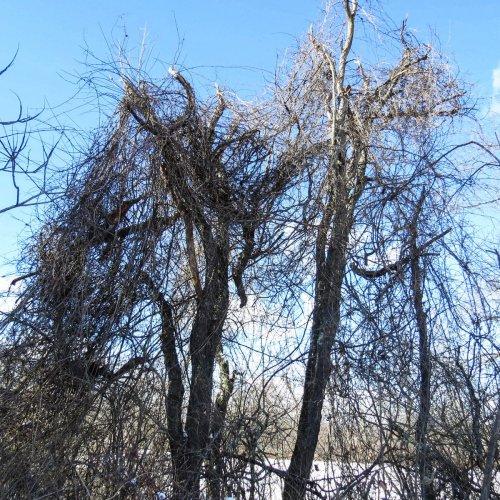 8-bittersweet-in-dead-elms