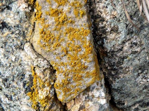 9-sidewalk-firedot-lichen