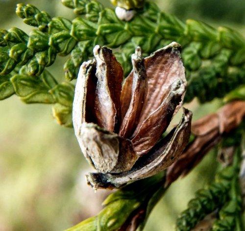10-cedar-seed-cone