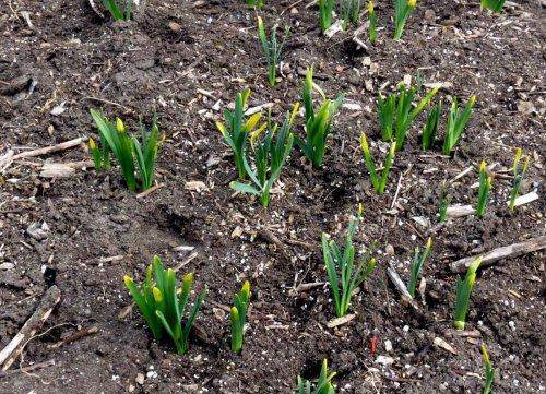 10-daffodils