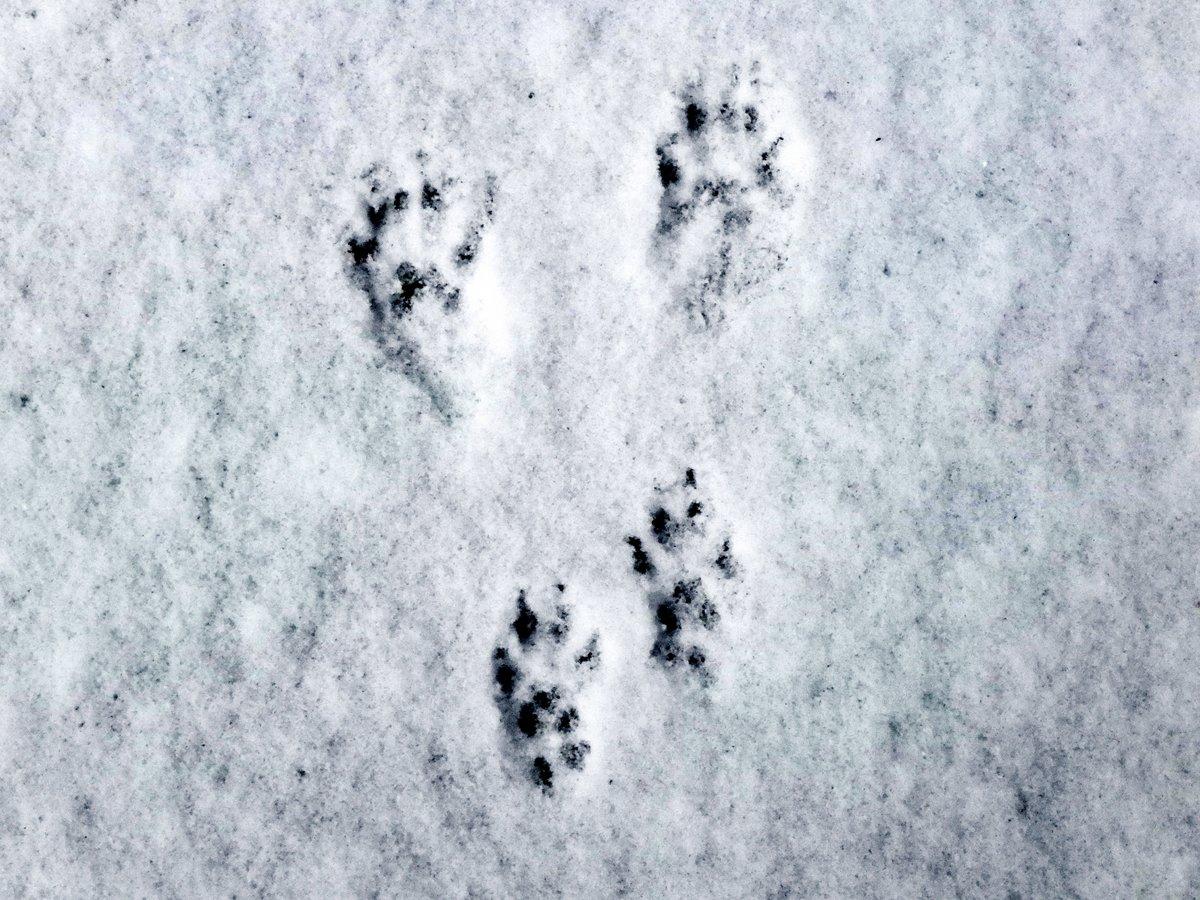 11-squirrel-tracks