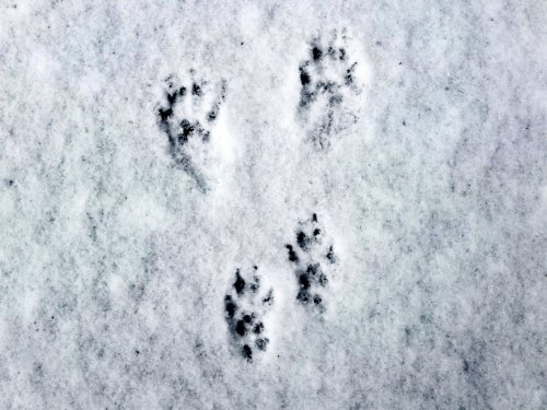 11-squirrel-tracks