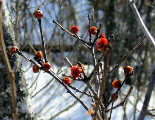 11-winterberries