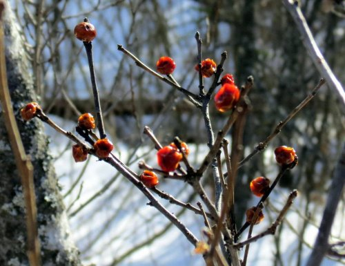 11-winterberries