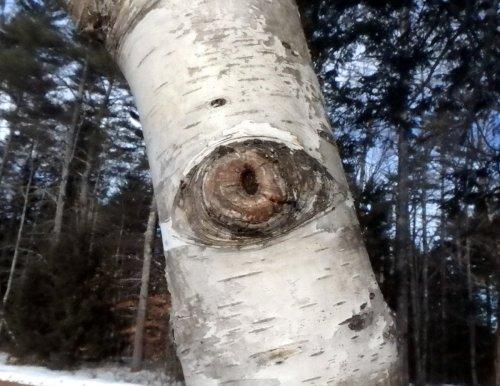 12-birch-eye