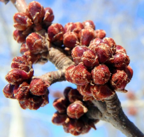 12-red-maple-buds