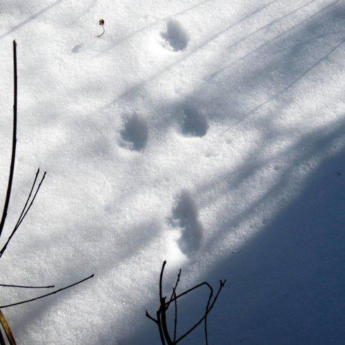 14-bobcat-tracks