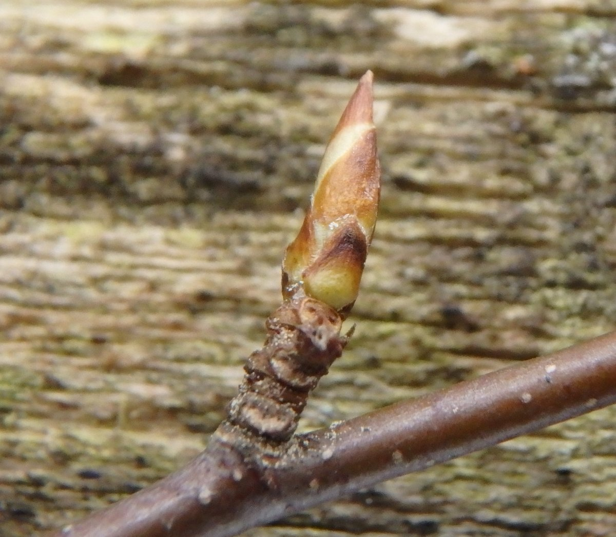 16-black-birch-bud