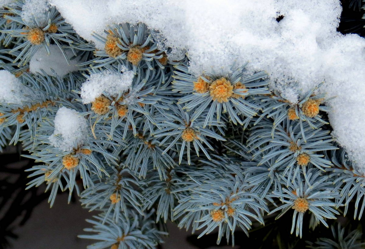 17-blue-spruce