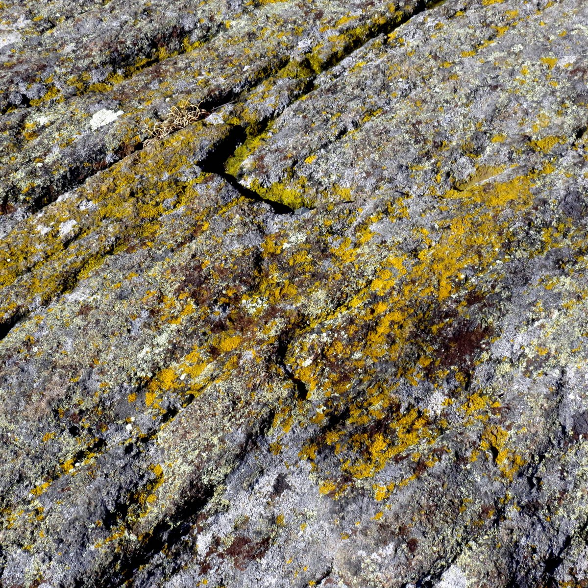 19-common-gold-speck-lichens
