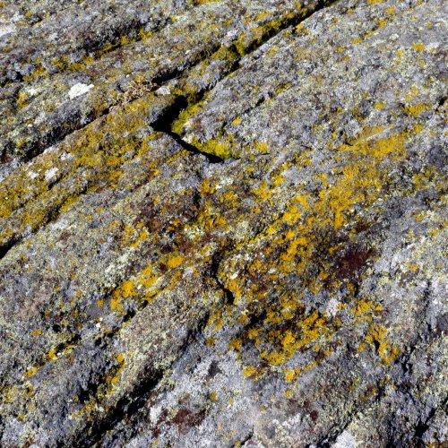 19-common-gold-speck-lichens