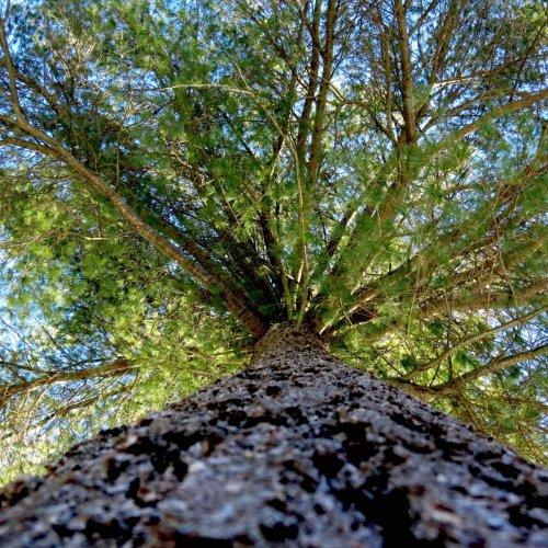 19-white-pine