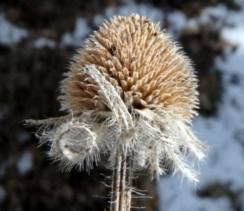 2-rudbeckia-seedhead