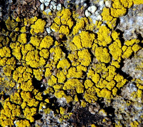 20-common-gold-speck-lichens