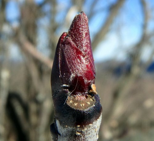 22-mountain-ash-bud