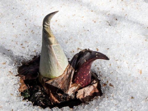 4-skunk-cabbage