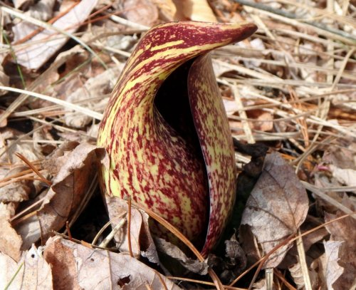 5-yellow-skunk-cabbage