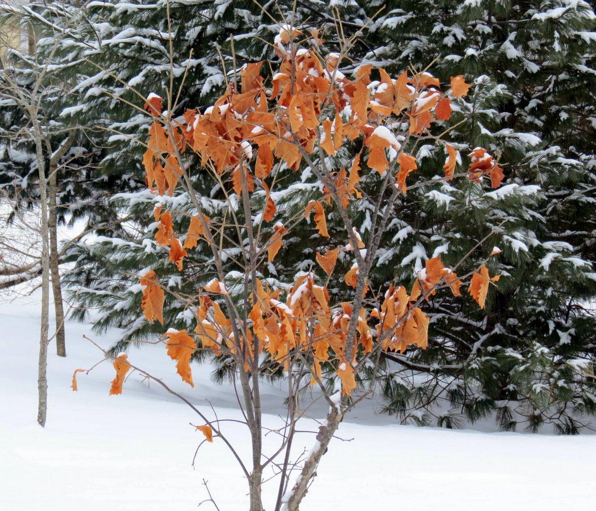 7-oak-leaves