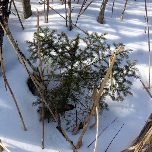 7-spruce
