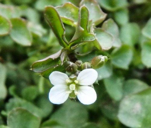 8-cress-blossom