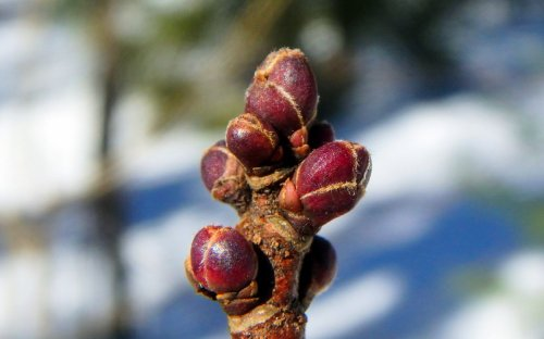 8-maple-buds-2
