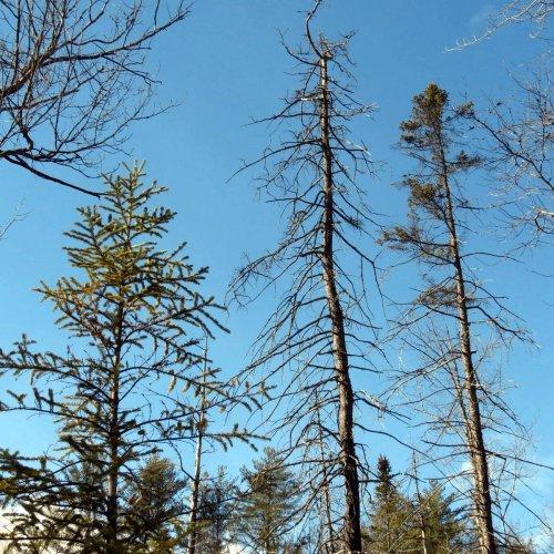 8-spuce-trees