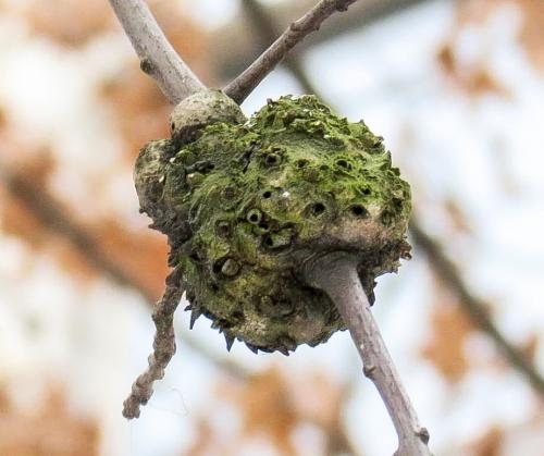9-oak-gall