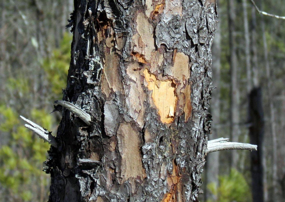 9-spruce-bark