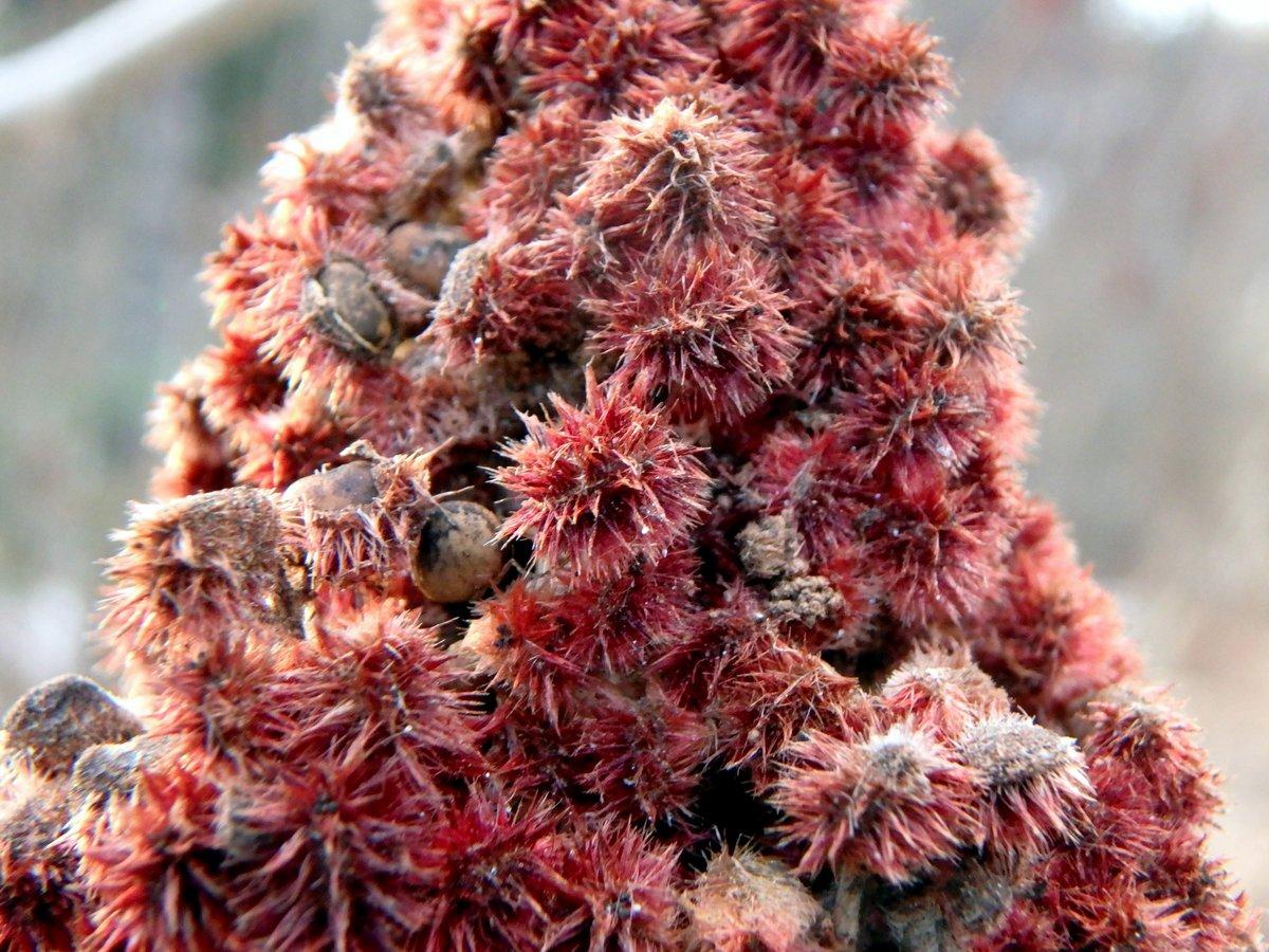 9-sumac-berries